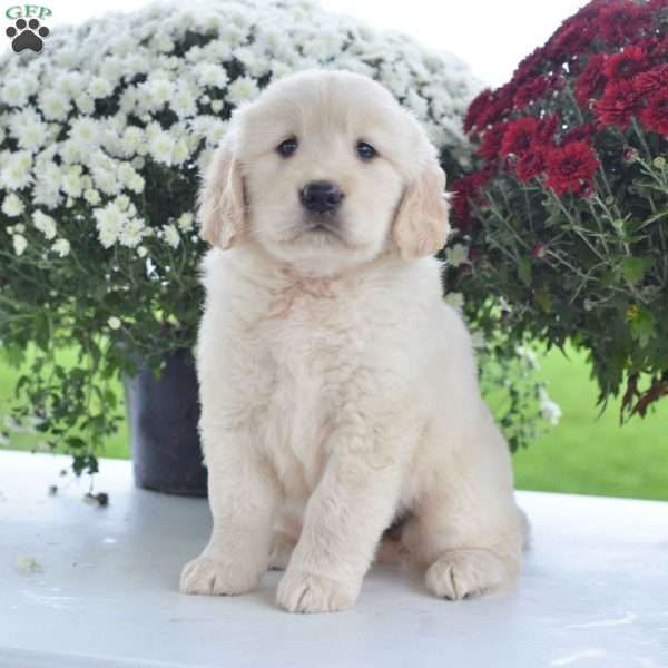 Allie Golden Retriever Puppy For Sale In Ohio Puppies Dogs