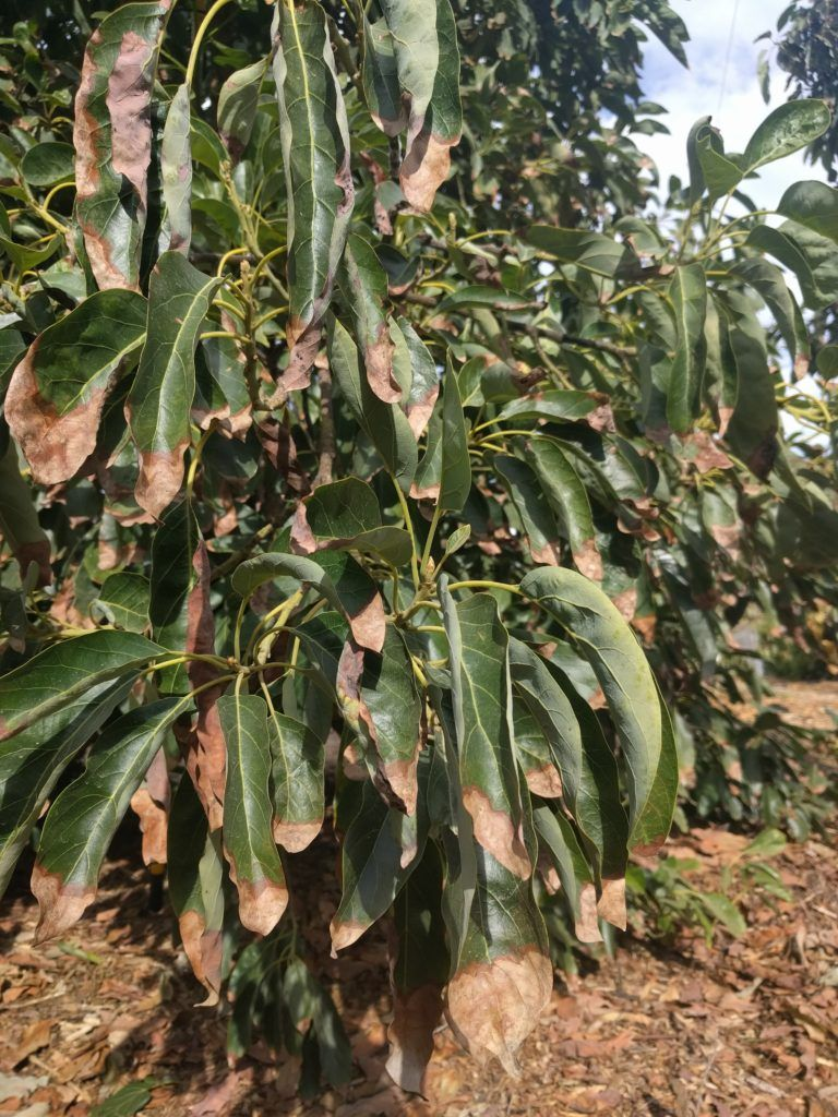 Avocado Leaves Turning Brown Here S Why And What To Do Greg Alder S Yard Posts Food Gardening In Southern Califor Avocado Leaves Avocado Plant Avocado Tree