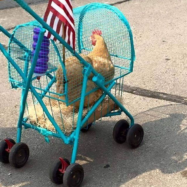 It's a Chicken Coupe!  #chicken #chickens #chickencoupe #hens #eggs #stroller #CALculture
