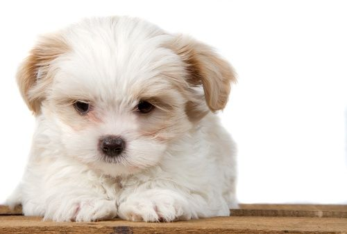 Coton Tzu Puppies For Sale At Canine Corral The 1 Place On Long