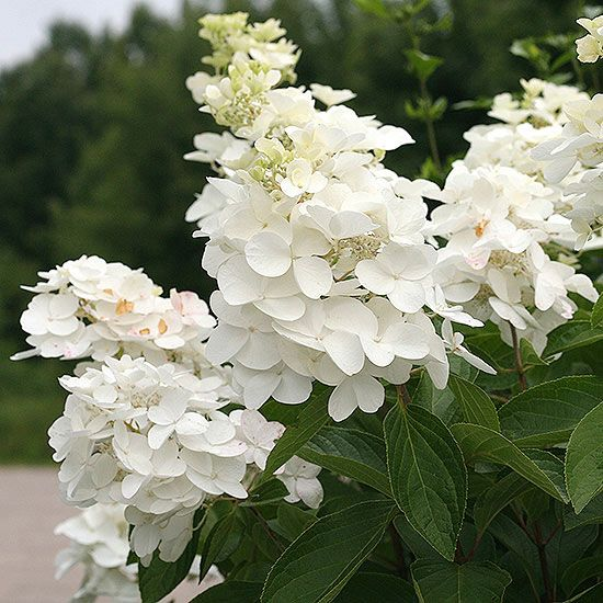 Polar Ball Panicle Hydrangea