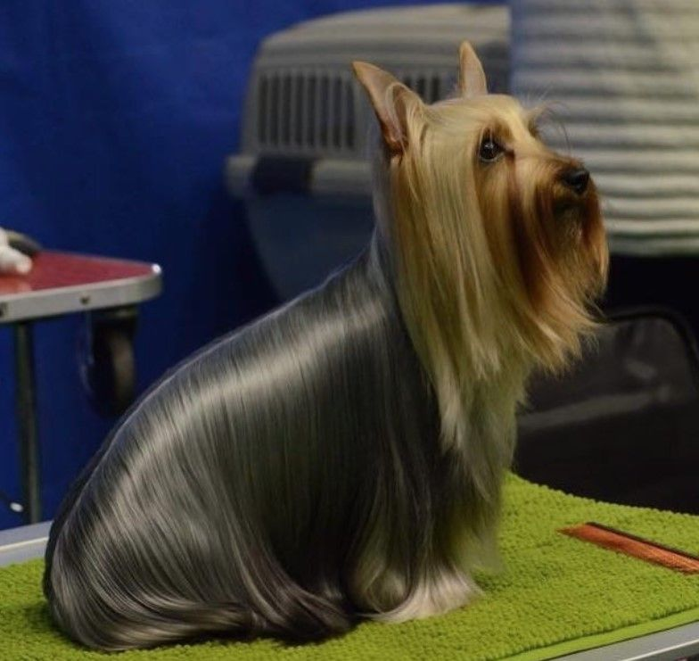 Silky Terrier Haircuts For Your Puppy