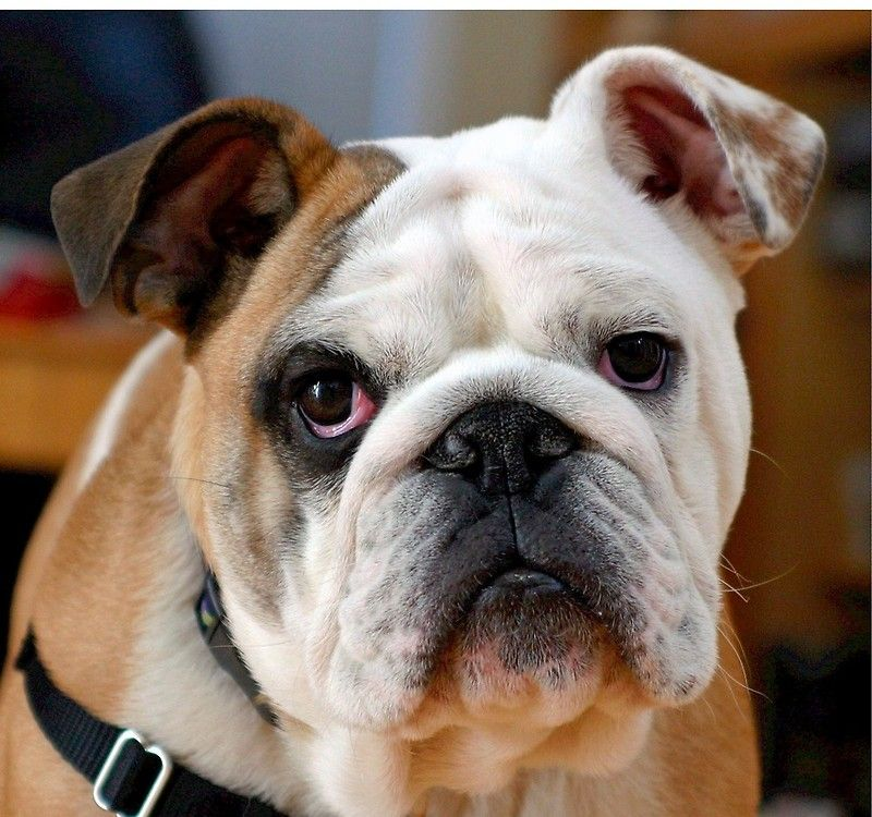 Awesome English Bulldog Iphone Wallet By Saveanimals Training