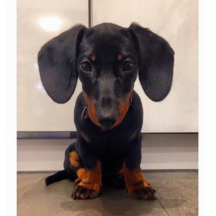 Black Tan Reminds Me Of Starboard Dachshund Love Very Cute