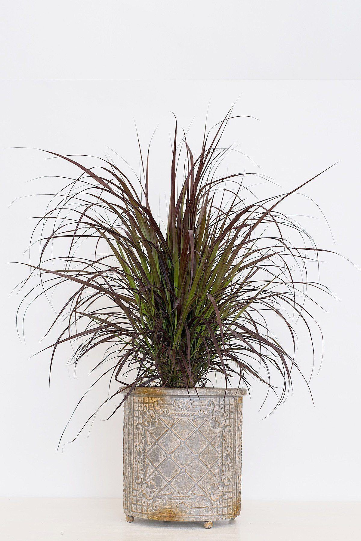 Buy Purple Fountain Grass (State Restrictions Apply) at