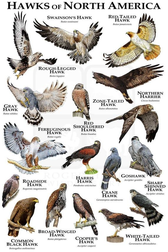 Hawks of North America Poster Print / Field Guide