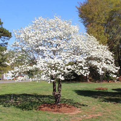 White Dogwood Tree Cornus Florida For Sale Brighter Blooms Nursery Brighterblooms Com Dogwood Trees Landscape Design Landscape Trees