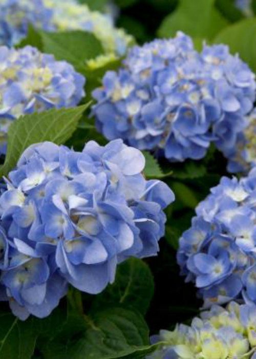 Dear Dolores Hydrangea Order Online With Plantsbymail Com Southern Living Plant Collection Southern Living Plants Hydrangea Not Blooming