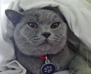 Www Silverbrookcattery Com British Shorthair Kittens Kittens For Sale Cats For Sale Cat Kitten Kitt Kitten Adoption British Shorthair Cats Cats For Sale