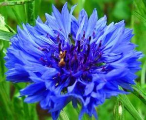 Cornflower The Meaning Of Flowers In 2020 Blue Garden Flower Meanings Cornflower