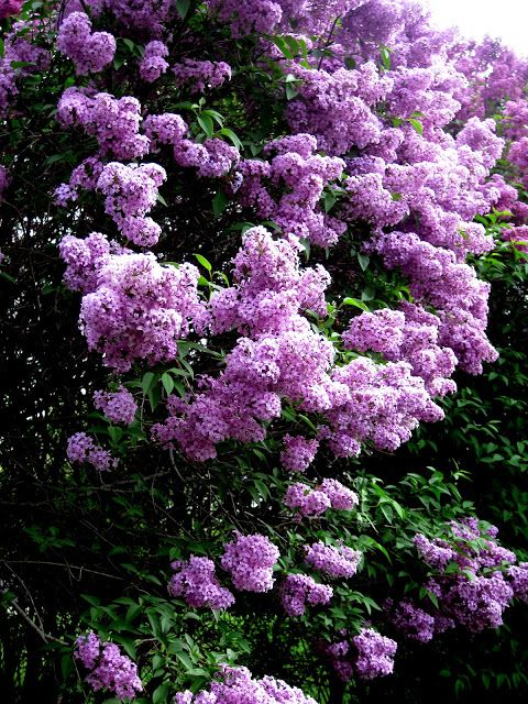 Pin By Cathy Rooney On Lilas Fleur In 2020 Lilac Gardening Lilac Bushes Lilac Tree