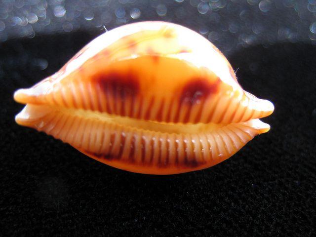 Cypraea globulus | Flickr - Photo Sharing!