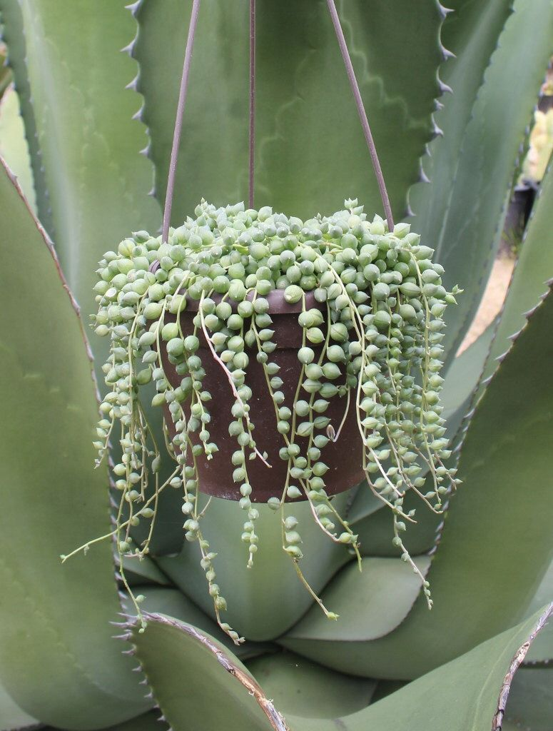 Gorgeous string of pearls in a sixinch round pot sanpedrocactus