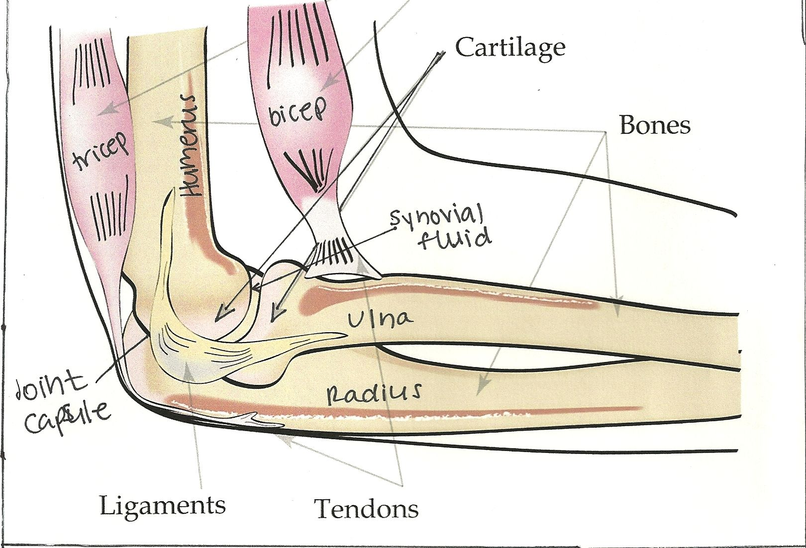 bones joints | Labelled diagram of a human elbow