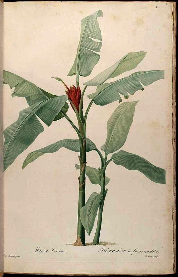 illustration available4no HD illustration available4 Vintage Tropical Botanical Print Set No 1 Giclee Prints antique french victorian botanical print musa banana tree Vin...
