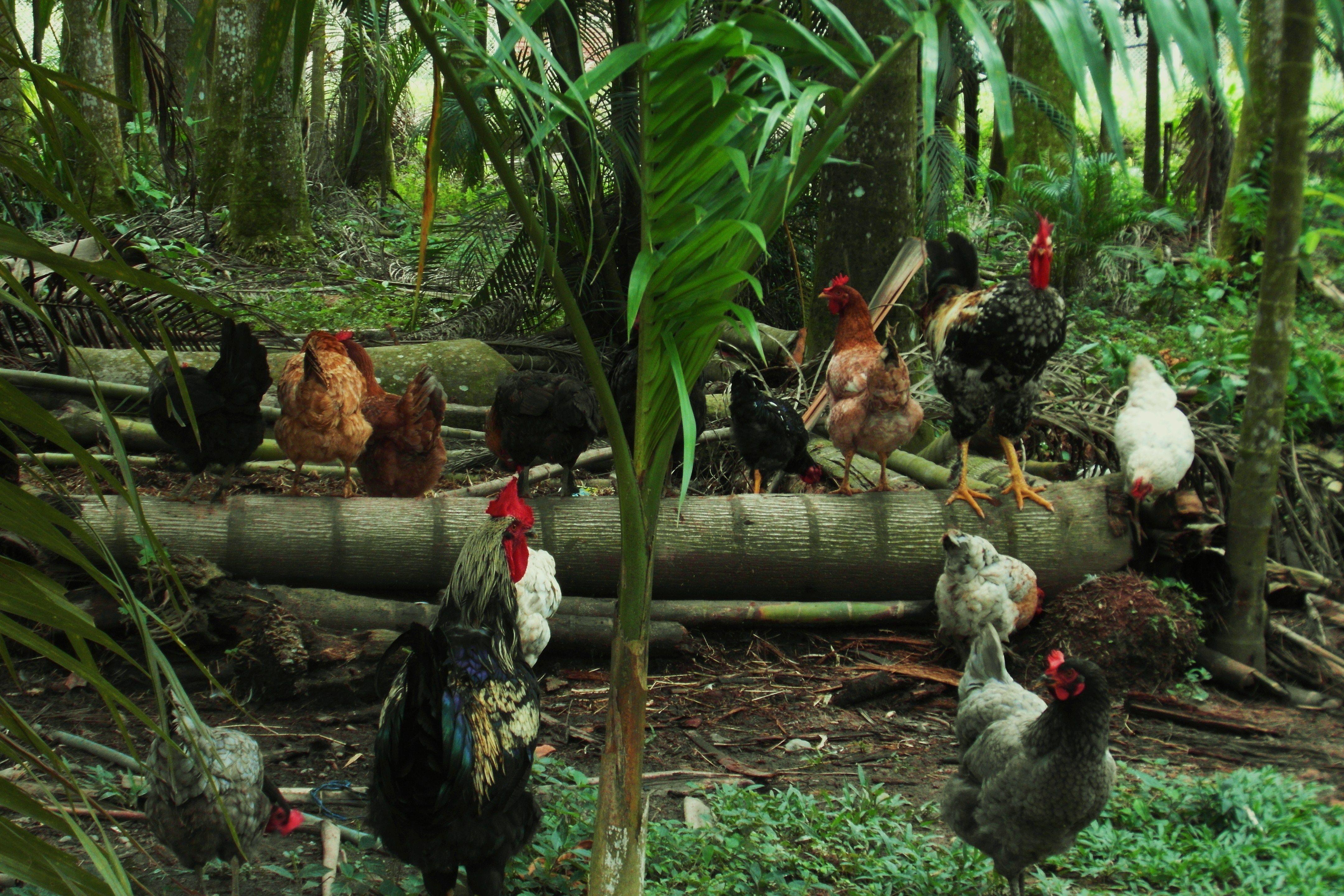 Coq et ses poules Los llanos - Meta Colombie