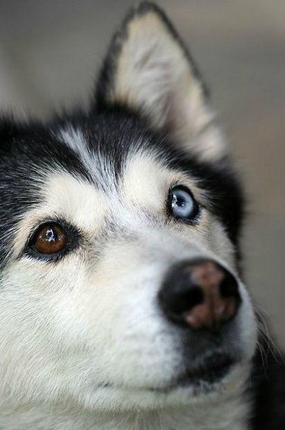 Complete Heterochromia Iridum In Dogs Husky Eyes Beautiful Dogs