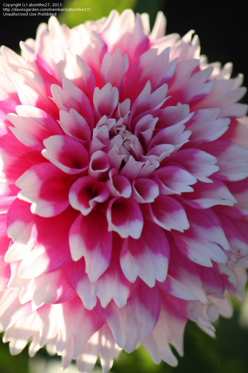 Dahlia Fuzzy Wuzzyi Will Be Looking For This Onedahilas