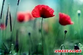 Pin by pham han on flowers pinterest flowers poppy flower meaning poppy flowers art flowers flower meanings hd wallpaper poppies fruit wallpaper images hd artificial flowers mightylinksfo