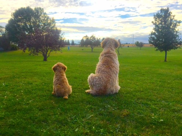 Indiana S Premier Doodle Breeder For The Past 15 Years Application Puppies Bernedoodle Puppy Doodle Puppy