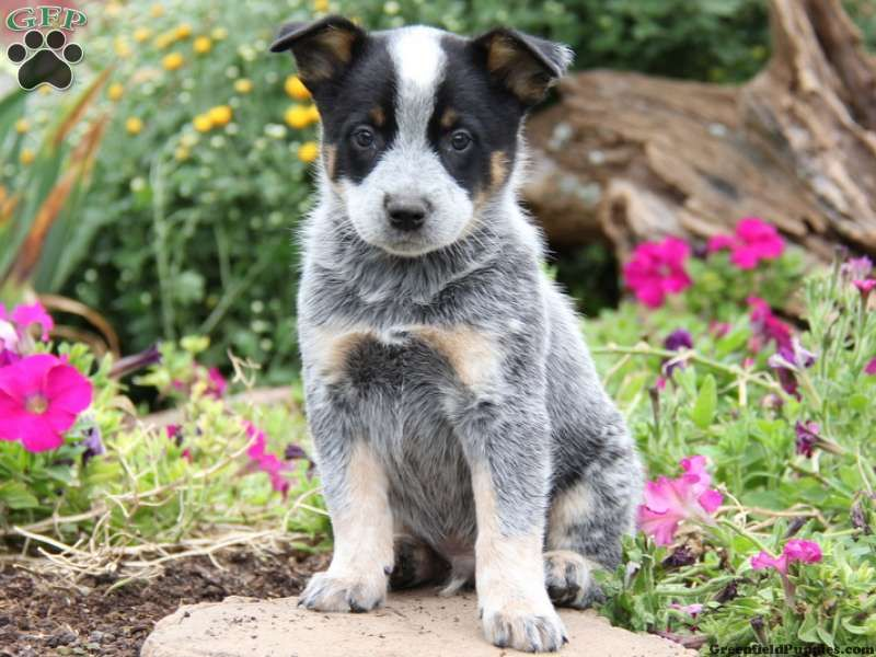 Drummer blue heeler australian cattle dog puppy for