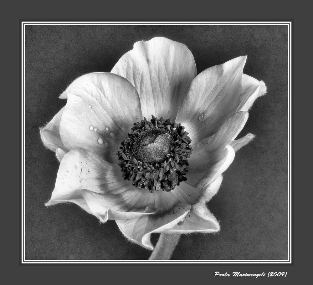 Anemone Flower in Black and White by Paola Marinangeli. 2009.