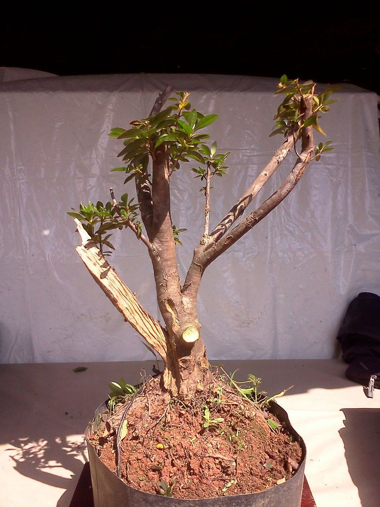 How To Start A Bonsai Tree The Diy Blog Bonsai Tree Indoor Bonsai Tree Bonsai Tree Care
