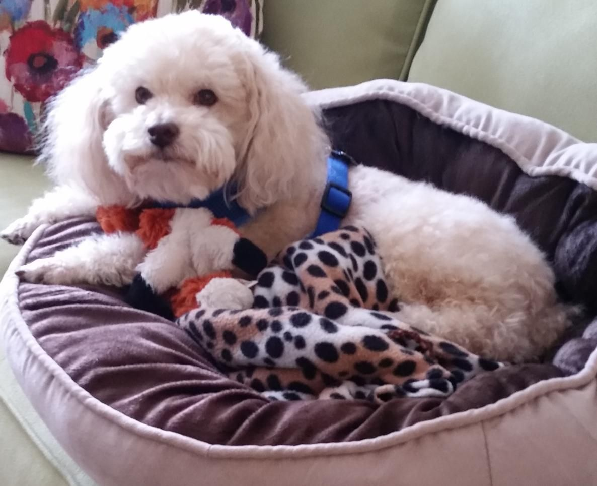 Rehomed Rudy Bichon Frise Poodle Mix In Austin Tx Rudy