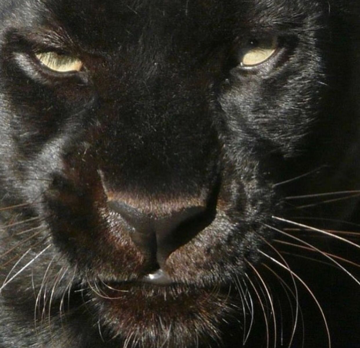 Pin by Hercorpse ️ on Aesthetic Animals, Panther, Black