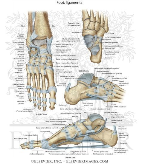 Ligaments Of The Foot Google Search Anatomy Pinterest