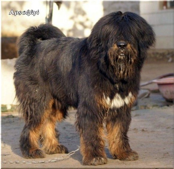 Lhasa Dog Breed In India