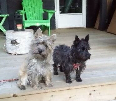 Pin By Kim Giles On Cairn Terrier Five Cairn Terrier Cute