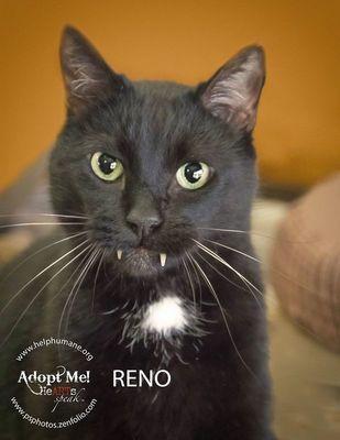 Adopt Reno On Petfinder I Love Cats Animals Pets