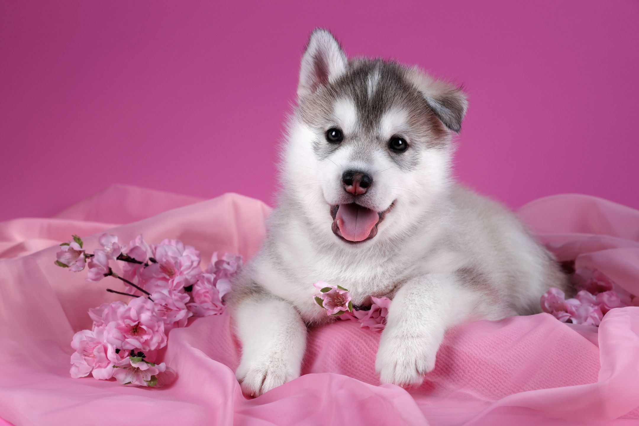 Siberian Husky Puppy On A Pink Background Puppy Backgrounds Husky Puppy Siberian Husky Puppy
