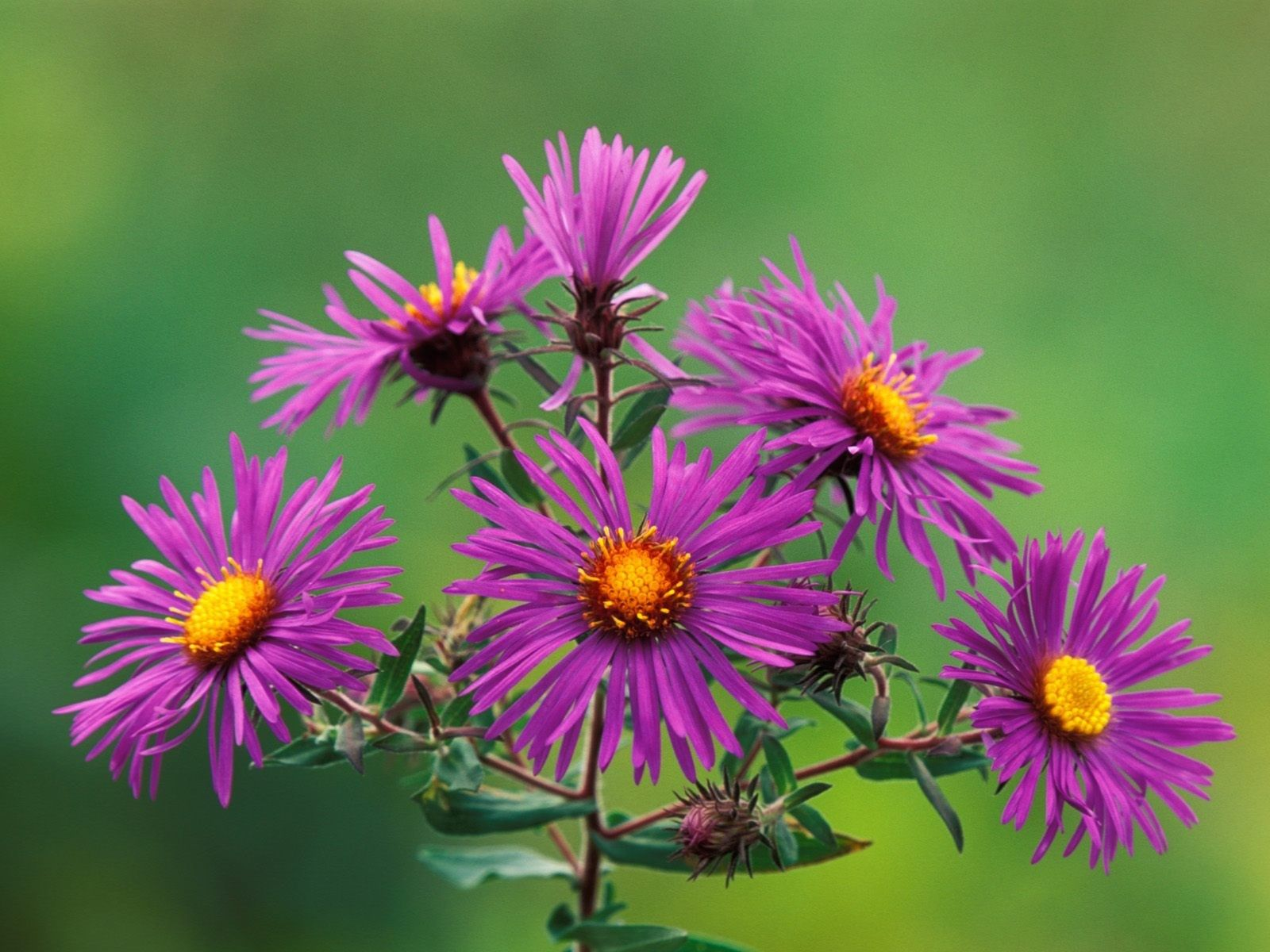 Free Download Pictures Of Flower Flower Photos Flowers Nature Aster Flower