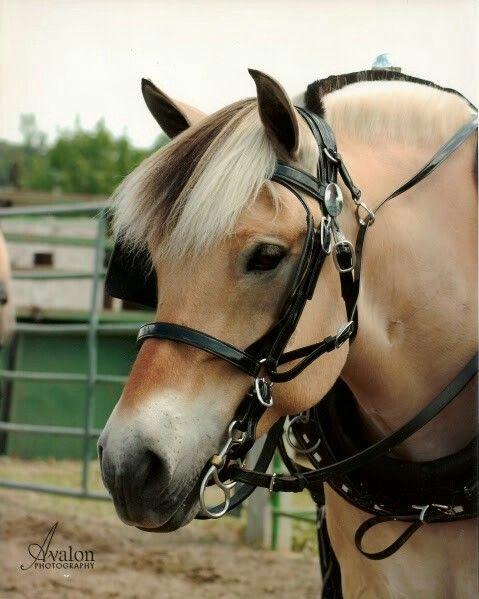 Beautiful fjord horse Majestic | Horses | Horses, Fjord ...