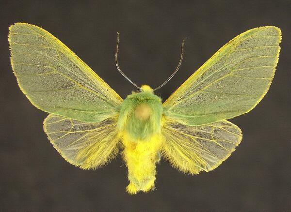 Epimolis Sp 3 2 Cm South America Borboletas Mariposas Lagarta