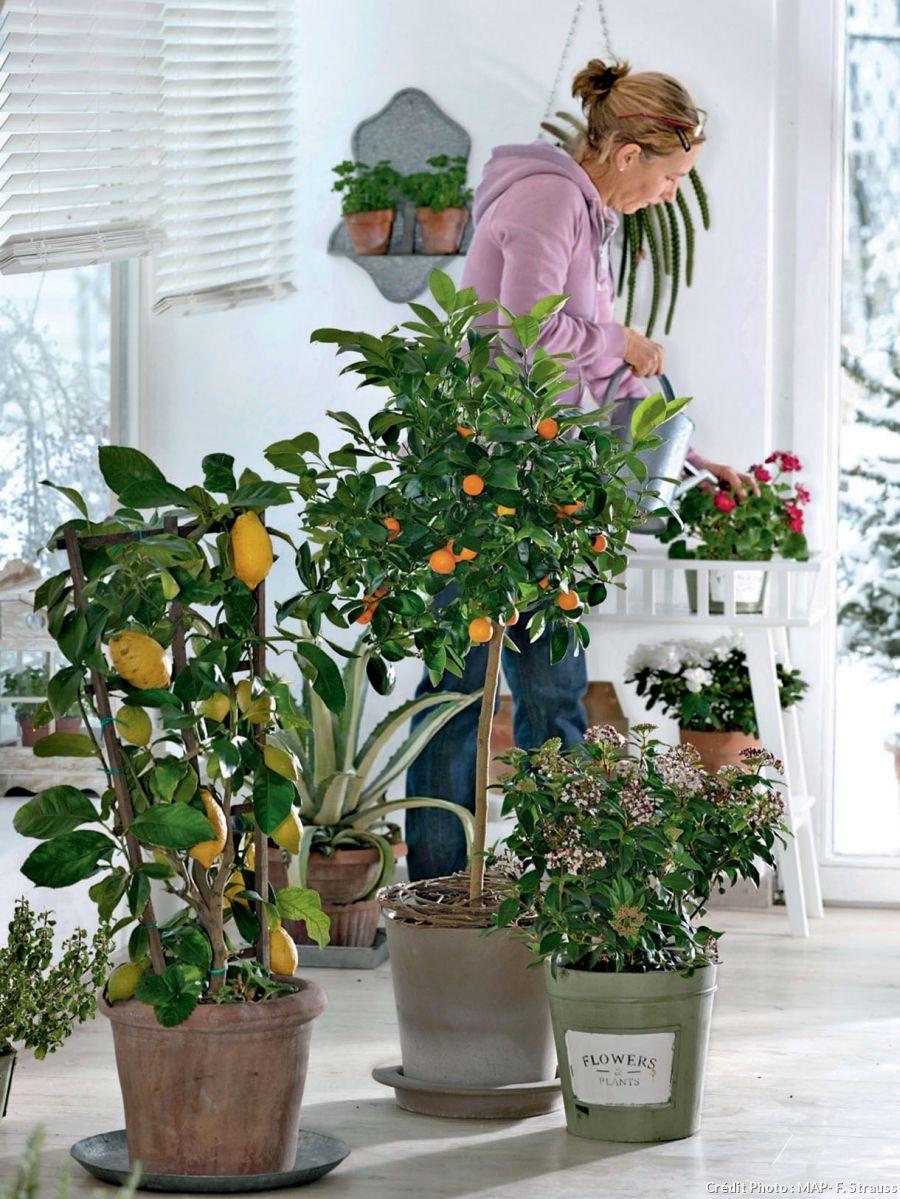 Arbre Fruitier En Pot Interieur plantes et arbres fruitiers dans la maison, citronnier en