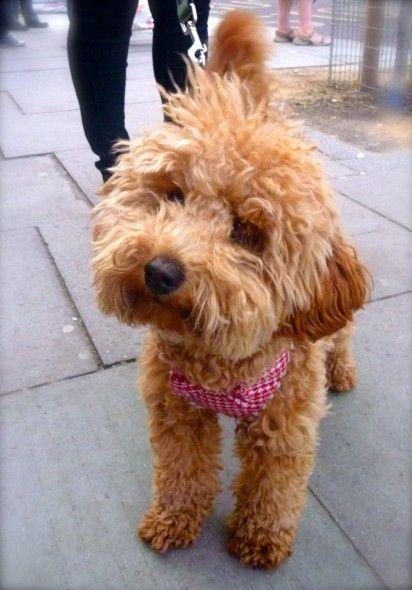An Apricot Toy Poodle Wearing A Fetching Gingham Bandana London