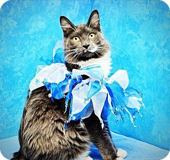 Seattle, WA - Domestic Shorthair. Meet Adoption Event!! Sun 3/30, 12-5pm, Northgate Petco a Cat for Adoption.