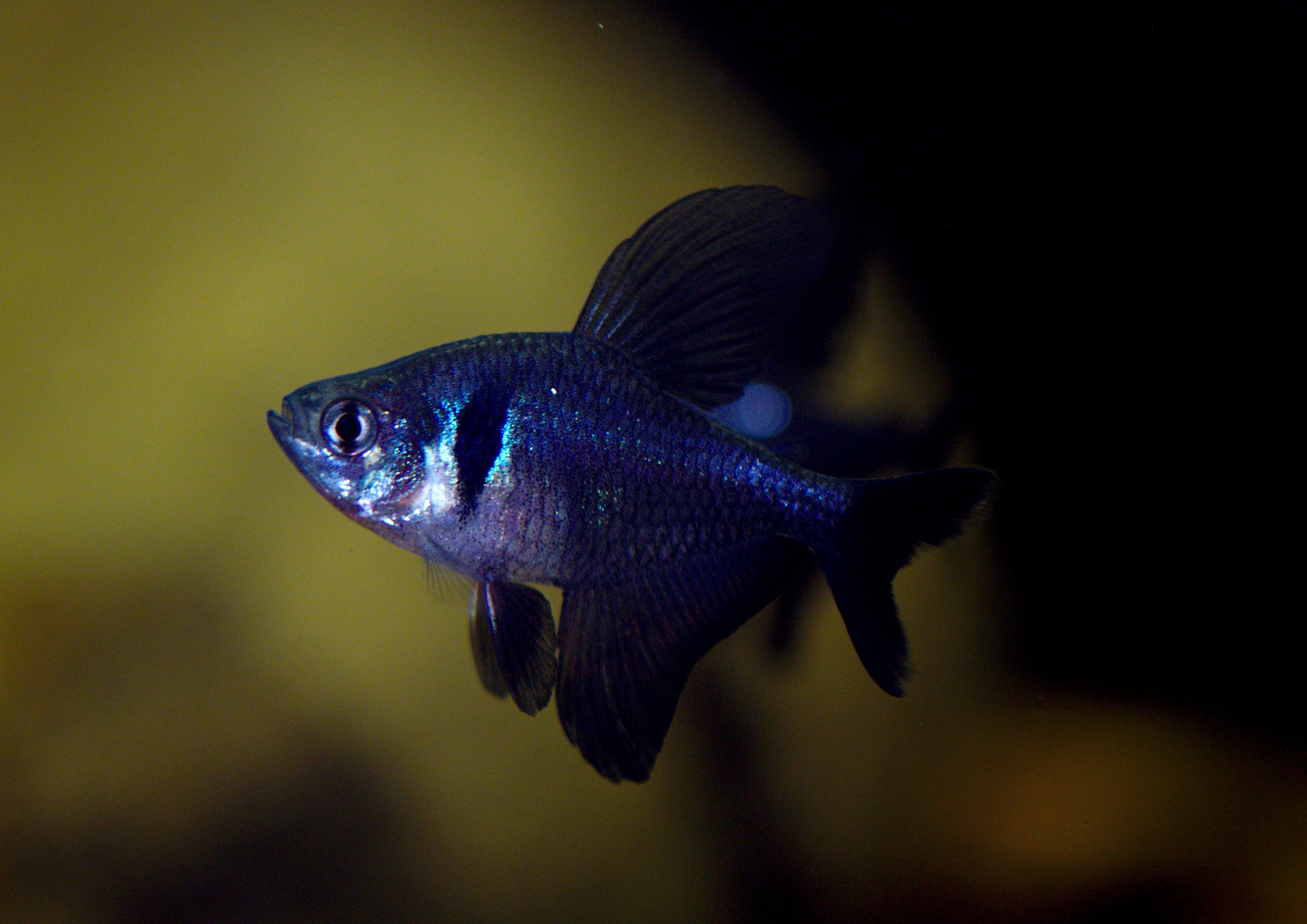 Hyphessobrycon Megalopterus Black Phantom Tetra Male Aquarienfische Aquarium Fische Fische