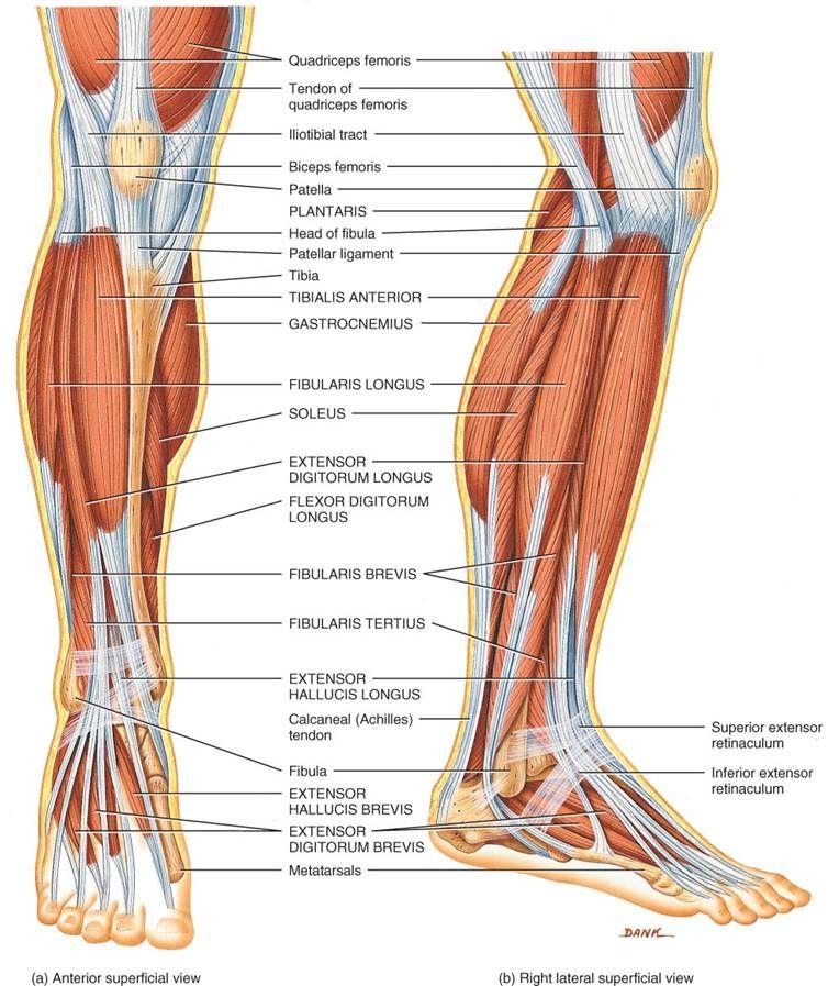 musculos del pie - Buscar con Google | Anatomía y fisiología de ...