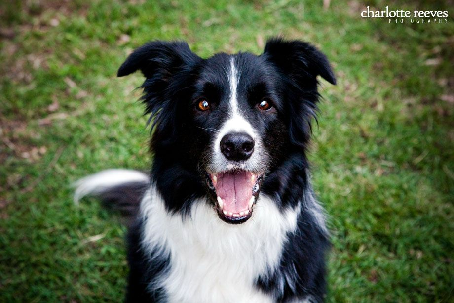 Pin By Mr Collie On Katie Border Collie Collie Pet Photographer