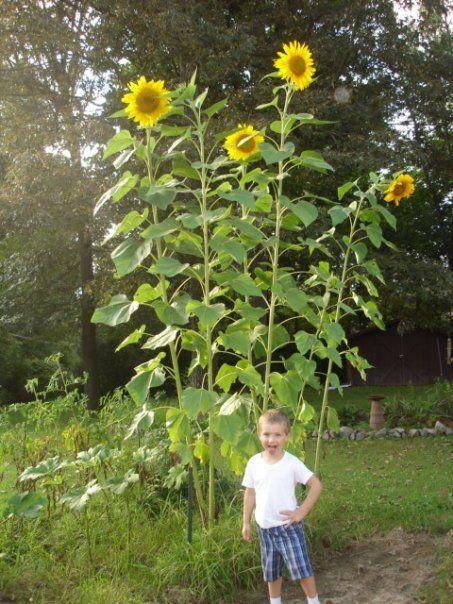 Black Oil Sunflower Black Oil Sunflower Seeds Black Oil Seed Black Oil