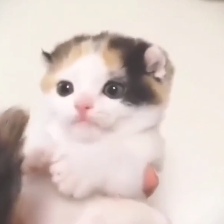 Cute Kitten Biting It S Tail And Being Absoloutly Adorable