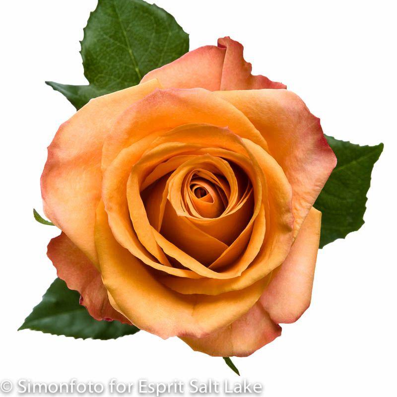 "Coral Garden Rose amber"" orange-peach bi-color rose | raw roses | pinterest"