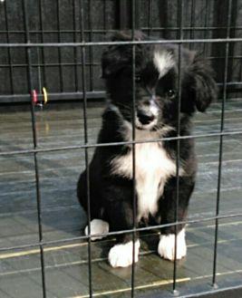 Denver In Border Collie Newfoundland Mix Meet 3 Girls A Puppy