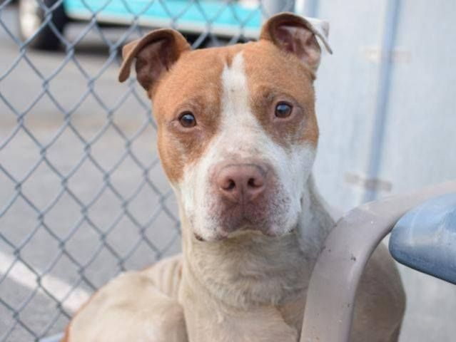 SPAIN - A1036197 - Brooklyn - Publicly Adoptable TO BE DESTROYED 05/22/15 A volunteer writes: Oh, Spain! It won't be hard to write an anthem singing the praises of and pledging loyalty to this guy – he has completely stolen my heart. He is usually quietly perched on his bed, but will wag his tail in a circle when approached and slowly make his way down. The pads on his paws are peeling off –... See More — with Sarah Sugars, Suzanne Balson and Micky Rudolph.