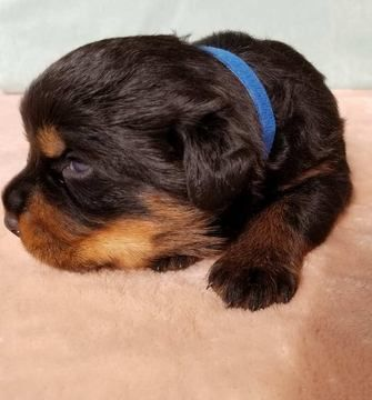 Litter Of 5 Rottweiler Puppies For Sale In Pine Grove Pa Adn