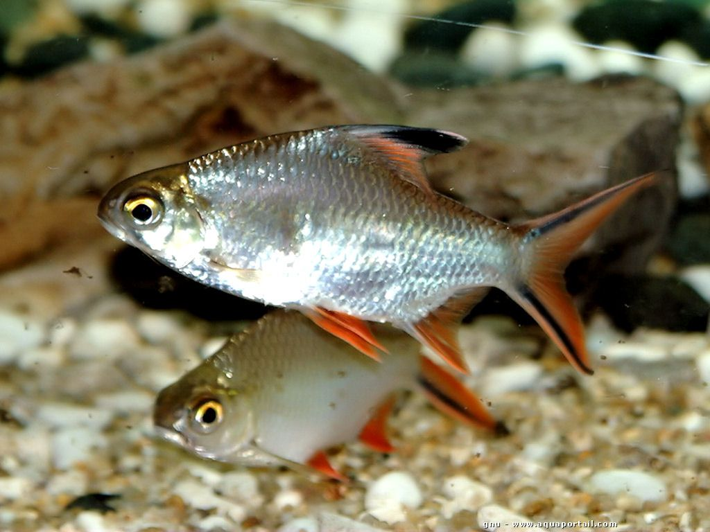Freshwater aquarium fish silver with red fins - Red